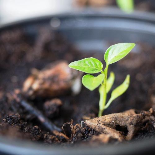 Plantule de piment